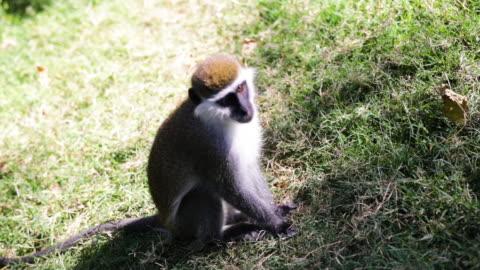 etiyopya ' vervet maymun' - memeli stok videoları ve detay görüntü çekimi