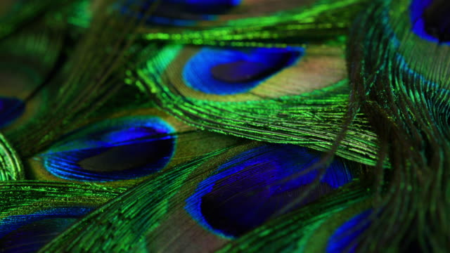 very beautiful peacock feathers. natural rotating colorful pattern. macro close-up view. 4k. can be used as transitions, added to projects - peacock filmów i materiałów b-roll