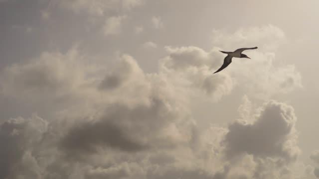 vídeos de stock, filmes e b-roll de muito perto. um grande pássaro sulidae voa sobre o mar contra um belo céu em busca de peixes - atobá