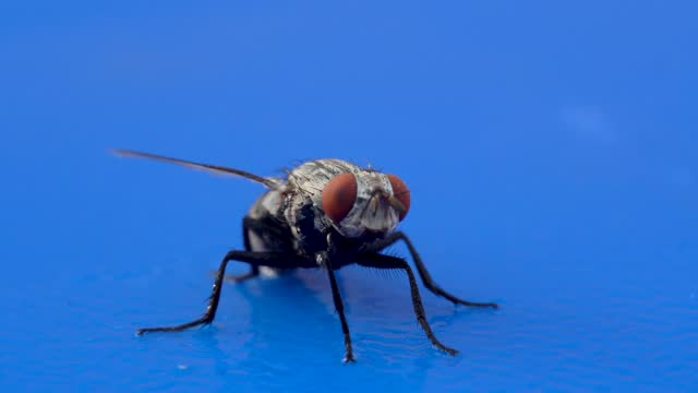 A very close up view of a housefly (Musca domestica) in the suborder Cyclorrhapha macro photography and footage on blue background.