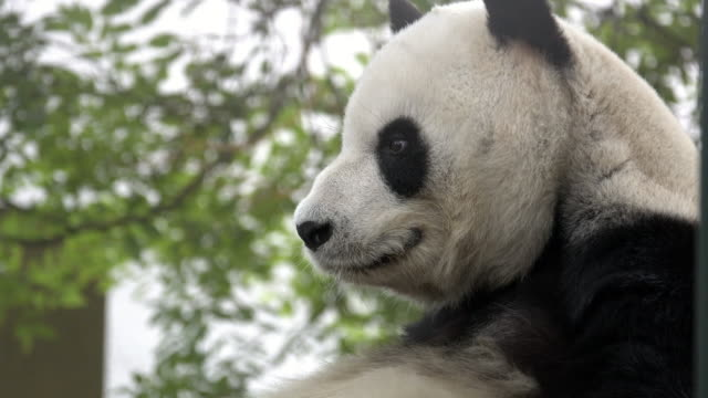 Very closely to the big panda