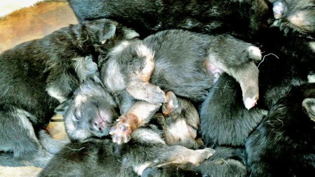 vídeos de stock, filmes e b-roll de filhote de muito bonita está dormindo ao lado das outras puppies - punhado