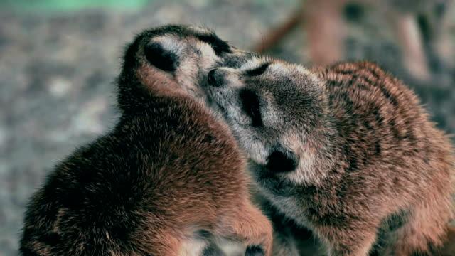 mycket vänlig meerkats - tävlingsdistans bildbanksvideor och videomaterial från bakom kulisserna