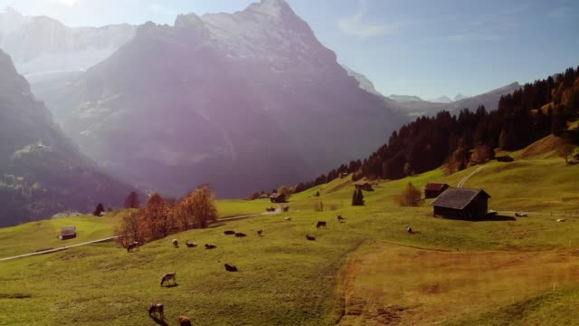 Very Long Aerial Shot Flying Over Cows in a Field and Towards the Swiss Alps in Grindelwald, Switzerland