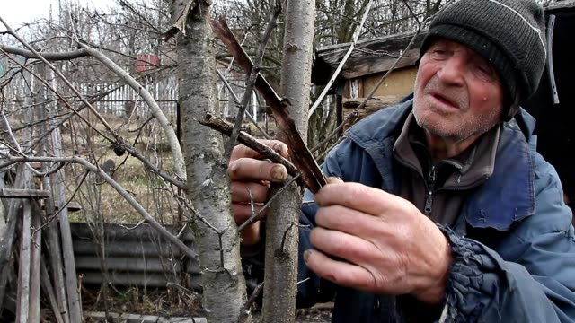 A very old man inspects garden trees in the spring before flowering removes extra branches preparing for the new season - video