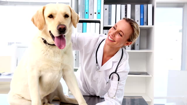 Vet checking a yellow labrador video