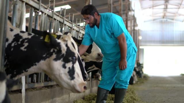 vet kontrollera korna in i ladugården - veterinär, undersökning bildbanksvideor och videomaterial från bakom kulisserna
