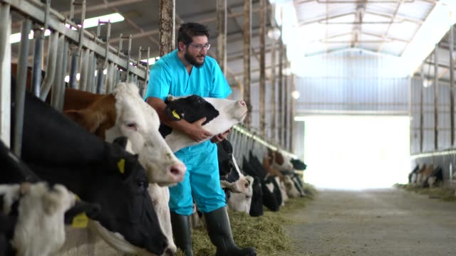 vídeos de stock e filmes b-roll de vet checking cows into to barn - gado doméstico