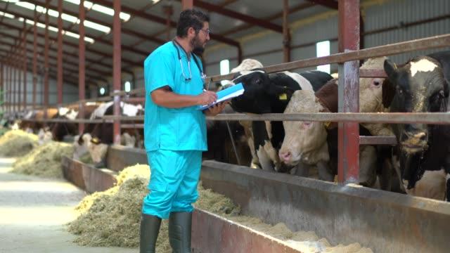vet checking cows into to barn - żywy inwentarz filmów i materiałów b-roll
