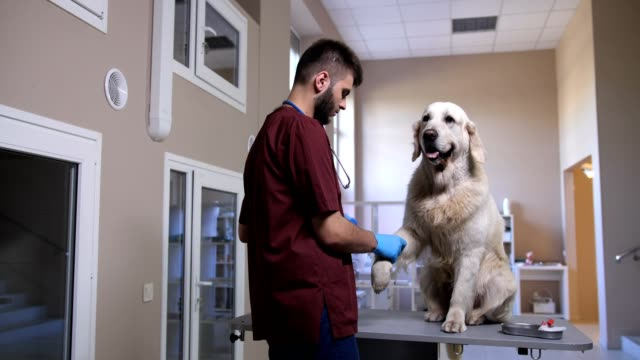 Vet doctor bandaging dog after blood sample Young vet doctor bandaging his animal patient after drawing blood sample at veterinary clinic. Cute golden retriever sitting on table while veterinarian applying bandage on his paw at pet hospital veterinarian stock videos & royalty-free footage