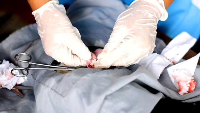 sterilizasyon için işlem yapmadan veteriner. yerel bir klinikte ameliyat masasında kedi. kedi bir veteriner cerrahi - kısırlaştırma stok videoları ve detay görüntü çekimi