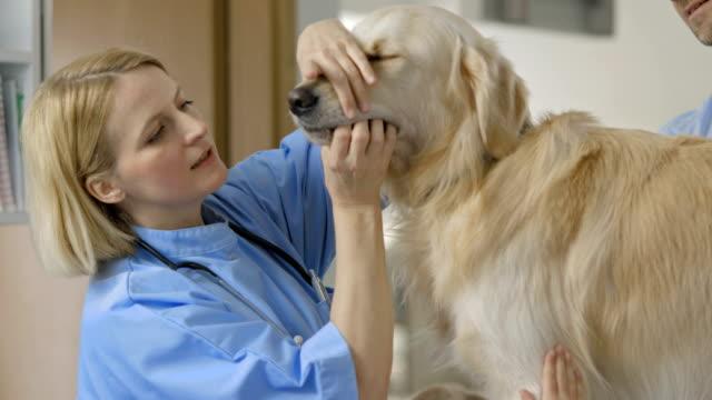 vet examining a dog - veterinär, undersökning bildbanksvideor och videomaterial från bakom kulisserna