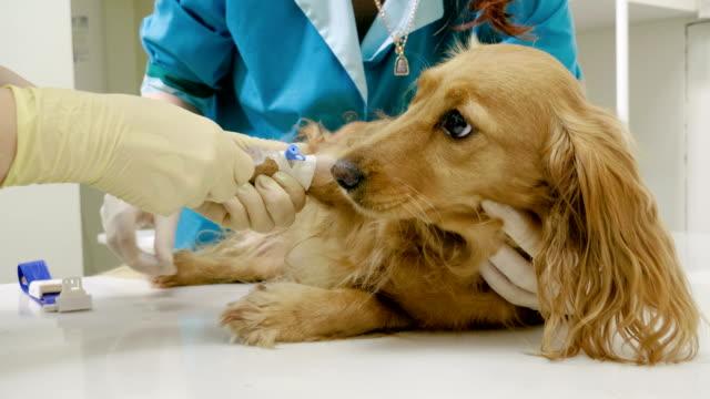 vet sätta kateter i en tass av hund för att ta medicin på veterinärkliniken 4k - veterinär, undersökning bildbanksvideor och videomaterial från bakom kulisserna