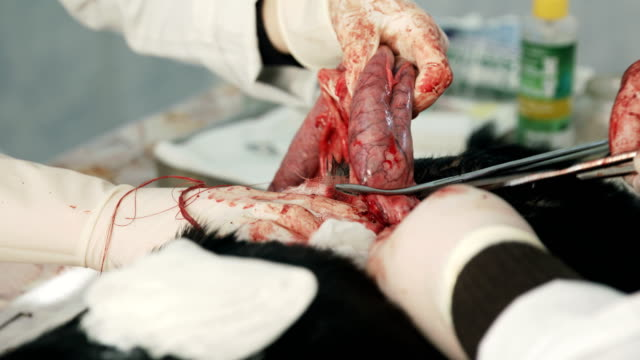 Vet surgery. Dog ovary removal Vet surgery. Dog ovary removal videos of dogs mating stock videos & royalty-free footage