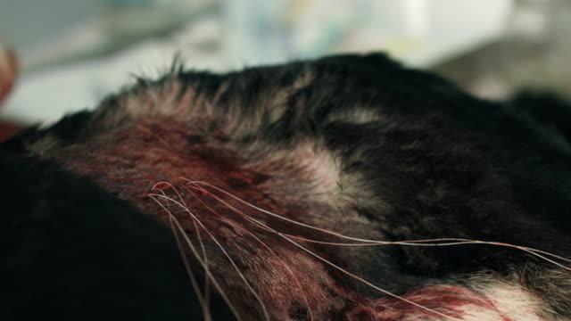 cerrahi veteriner. hayvan vücudu tıbbi dikiş konuları - kısırlaştırma stok videoları ve detay görüntü çekimi