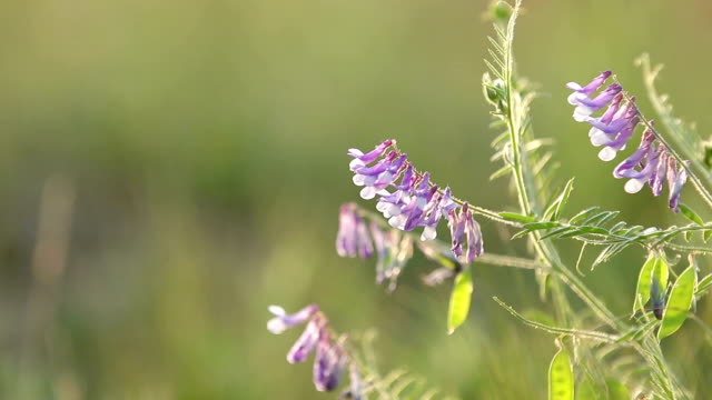 Vetch flowers close up in the field. Wild pea flowers blossom. Sunset backlight, dolly shot, shallow depth ot the field, 50 fps. video