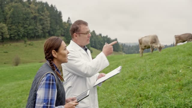 Veterinarian and female farmer checking the cows in the pasture video