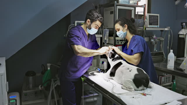 Veterinarian and Technician Preparing Dog for Surgery