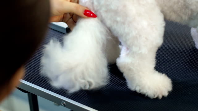 veterinarian blow-dry a dog bichon frise hair in a veterinary clinic, close-up. - bichon frisé video stock e b–roll