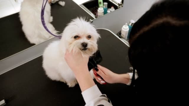 Veterinarian combing a white fluffy dog in a veterinary clinic before shearing Close-up of a female veterinarian combing a white fluffy dog in a veterinary clinic before shearing. Groomer combs dog Bichon Frise in the Barber shop for dogs. obedience stock videos & royalty-free footage