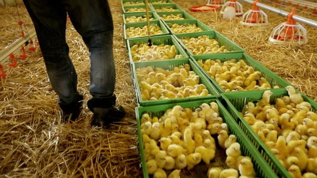 Tierarzt Arzt untersuchen Küken auf einer Hühnerfarm. – Video