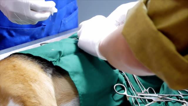veteriner dogâ €™ s hadım etme işlemi yapıyor - kısırlaştırma stok videoları ve detay görüntü çekimi