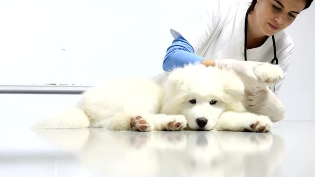 veterinario che esamina il cane sul tavolo nella clinica veterinaria. esame di cuore, denti, orecchie, pelliccia e zampa - china drug video stock e b–roll