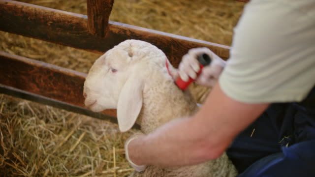 Veterinarian examining the sheep and caretaker marking her with red color video