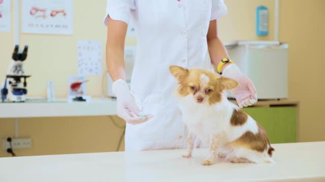 Veterinarian feeding the dog after the examination