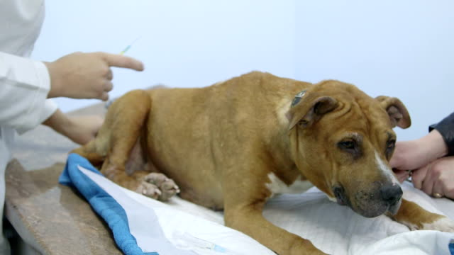 Veterinarian giving injection to dog video