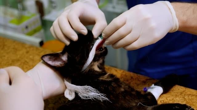 veterinär infogar ett rör för att andas in i kattens mun före operationen. - kvinna ventilationssystem bildbanksvideor och videomaterial från bakom kulisserna