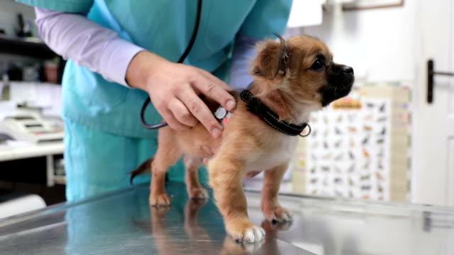 vídeos y material grabado en eventos de stock de escuchando los latidos de los cachorros veterinario - veterinario