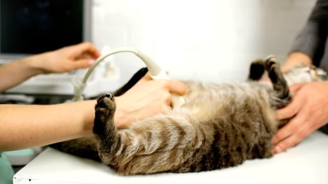 veterinarian performing ultrasound scan on domestic cat's belly - молодое животное стоковые видео и кадры b-roll
