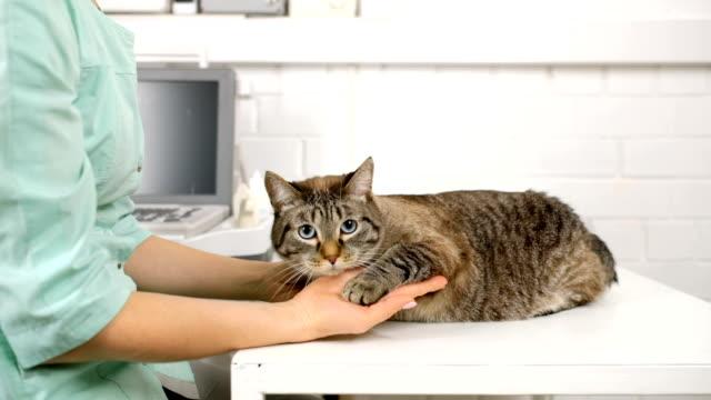 veterinär petting tamkatt vid bordet - veterinär, undersökning bildbanksvideor och videomaterial från bakom kulisserna