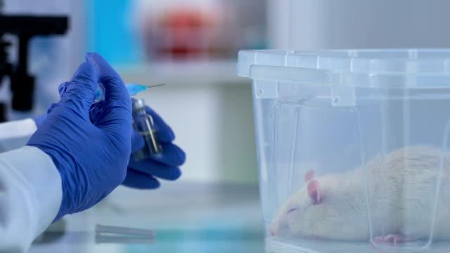 veterinär som förbereder sig för att göra injektion till sjuk råtta, djur klinik hand om husdjur - veterinär, undersökning bildbanksvideor och videomaterial från bakom kulisserna