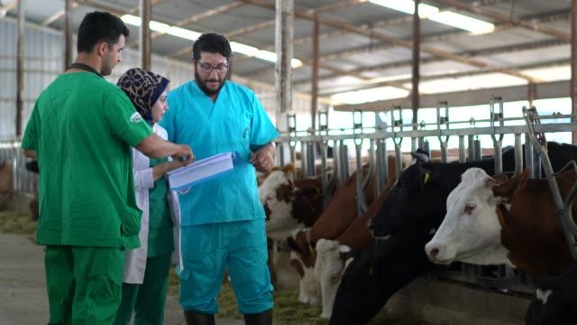 veterinarian team checking cows into to barn. - żywy inwentarz filmów i materiałów b-roll
