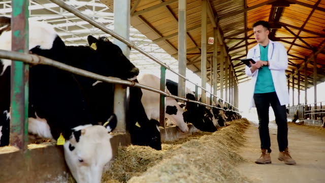 veterinarian with cows in cowshed on dairy farm - rancher video stock e b–roll