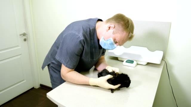 veteriner kliniği. siyah yerli kobayı inceleyen veteriner. 4k - kemirgen stok videoları ve detay görüntü çekimi