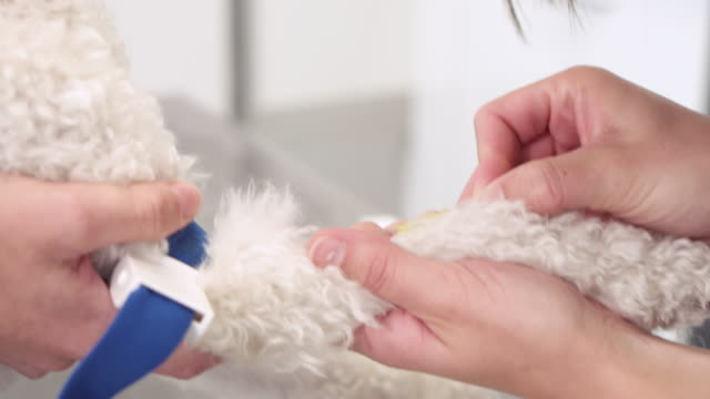 Veterinary placing intravenous line through a peripheral catheter. Dog in veterinary clinic. Pet health care in veterinary clinic. Veterinary placing intravenous line through a peripheral catheter. Dog in veterinary clinic. Pet health care in veterinary clinic. veterinarian stock videos & royalty-free footage