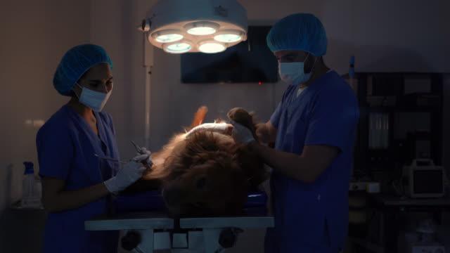 veterinärer som opererar på en hund på en klinik - veterinär bildbanksvideor och videomaterial från bakom kulisserna