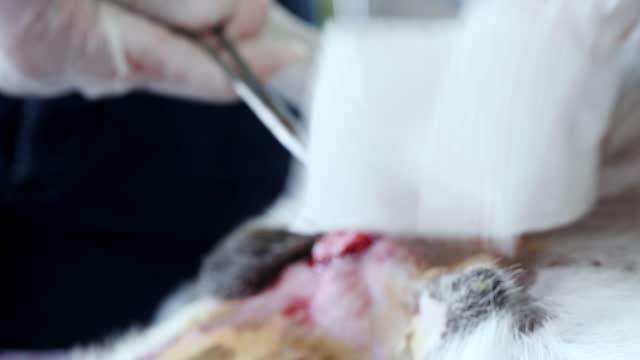 veterinerin elleri köpek kısırlaştırma işlemi için çalışıyor. - kısırlaştırma stok videoları ve detay görüntü çekimi