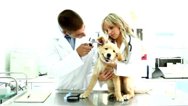Veterinarios examinando un Golden Retriever cachorro. - vídeo