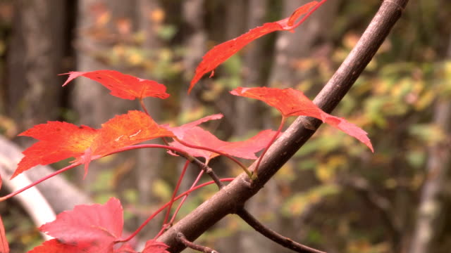 vibrant red fall foliage leaves video