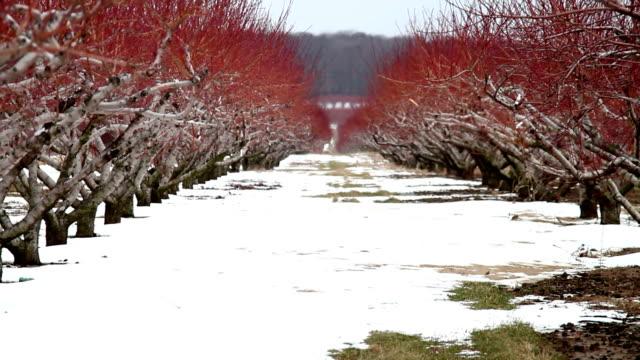 życiem wierszy drzewa brzoskwiniowe w zimie - brzoskwinia drzewo owocowe filmów i materiałów b-roll