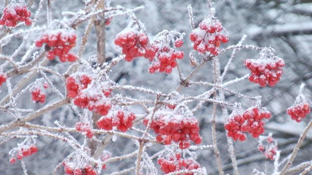 Viburnum clusters in winter video