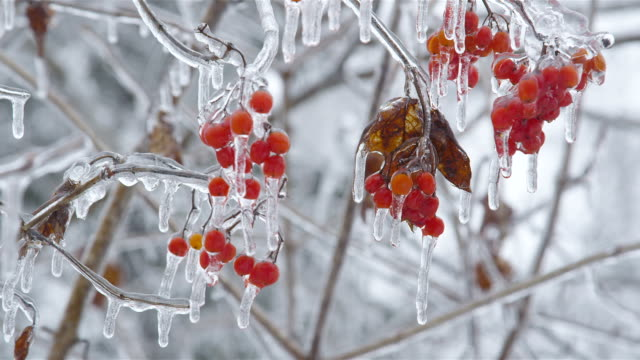 Viburnum opulus cluster of red berries in ice video