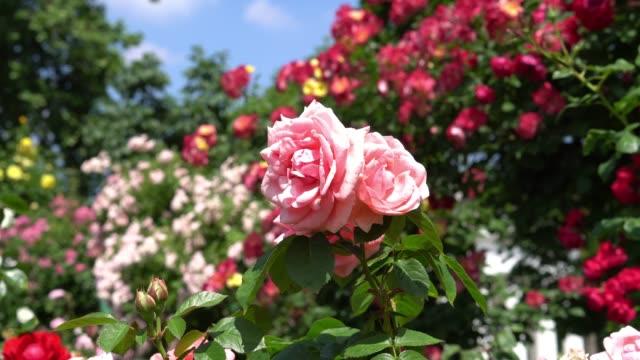 beautiful hybrid tea roses - куст стоковые видео и кадры b-roll