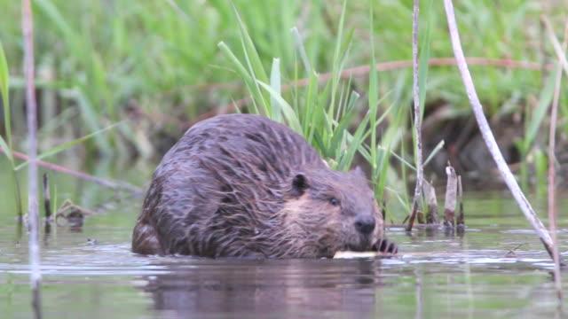 Vidéo HD beaver eats feuilles sur Bear Creek, dans le Colorado - Vidéo