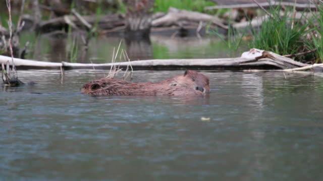 Vidéo HD beaver paire de toilettage sur Bear Creek, dans le Colorado - Vidéo