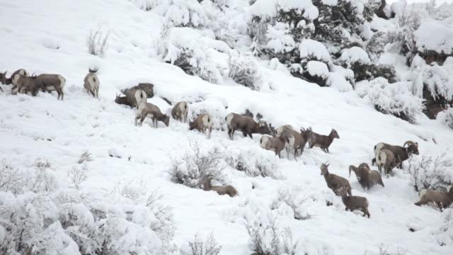 HD Video Bighorn herd feeding in Winter Snow, Colorado video